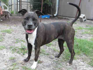 Mackey  (7 Years Old)  Pit Bull Terrier Mix