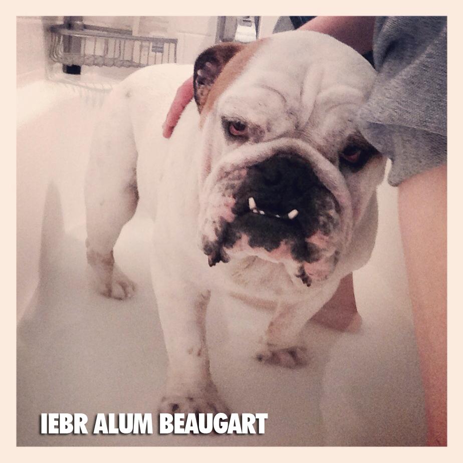 IL English Bulldog Rescue — Peoria Life