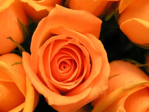 Orange%20Rose.jpg
