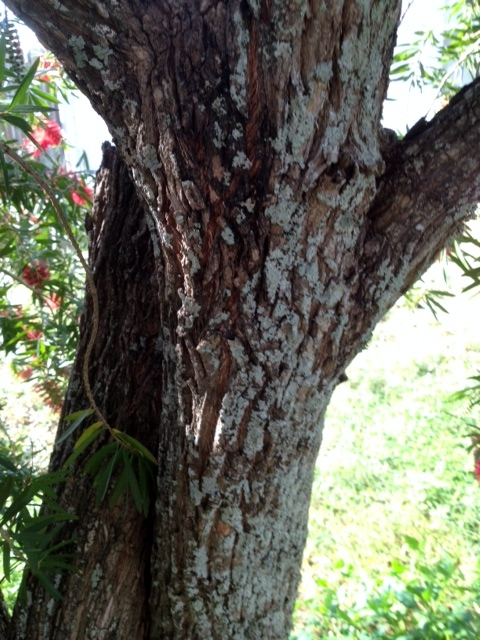 Bark of the Callistemon or Bottlebrush Tree - Photo: Jerilee Wei
