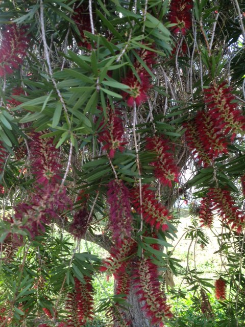 Bottlebrush tree in full bloom - Photo: Jerilee Wei