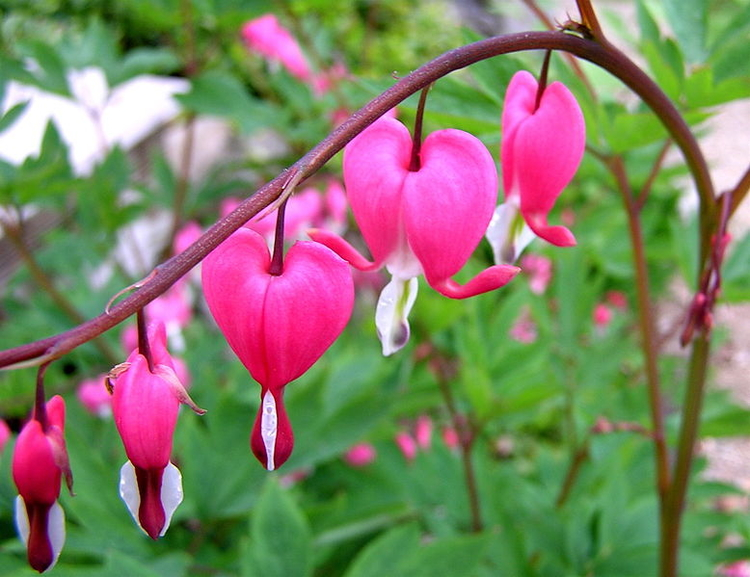 A Lovely Garden Bleeding Hearts And Their Medicinal Uses