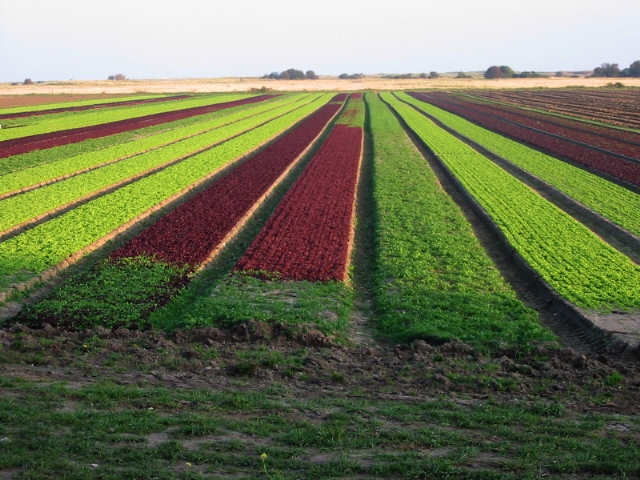 Rows of baby lettuce - Source: Nick Smith Creative     Commons via Wikimedia Commons