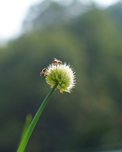 Honey Bees photo courtesy Chi Kim Lai