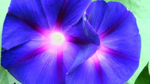 morning glory photo by Dennis Wood