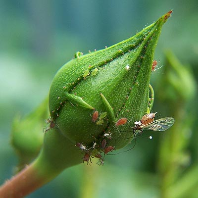 rose aphids photo from flower buds blog