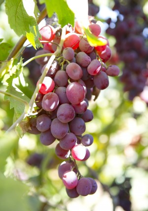 Red Flame or Tokay grapes have a nice sweet-tart balance, making them perfect for fruit cocktails.