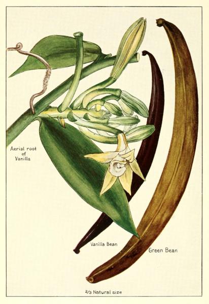 Vanilla plant, flowers, beans (1915) McCormick Co. Public Domain