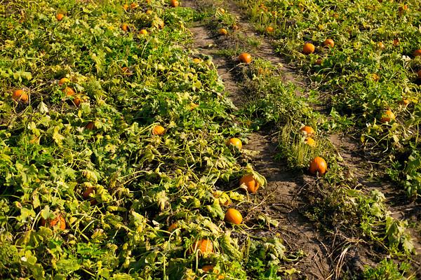 Pumpkin farms - Sarah Crowder Photography  2012©