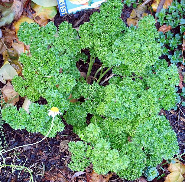 Curly leaf parsley, Donovan Govan, GNU, Creative Commons, Wikimedia Commons