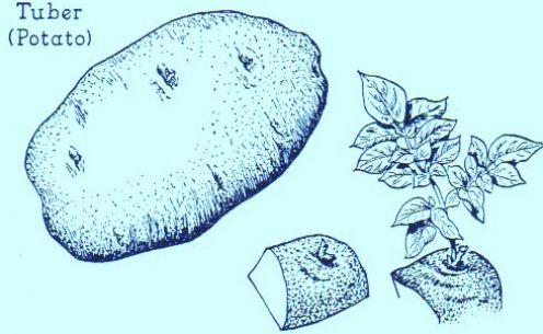 Potatoes are tubers - Art: by Jerilee Wei, 2008 ©