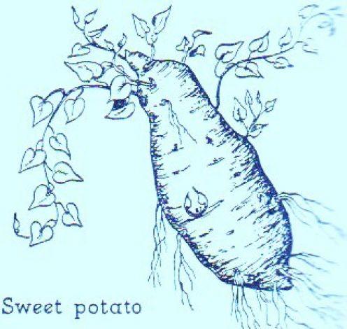 Drawing of a sweet potato -- Art by Jerilee Wei