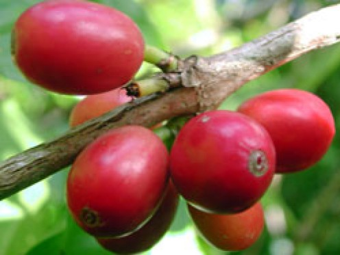 Ripe coffee fruits