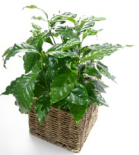 Container grown coffee plant