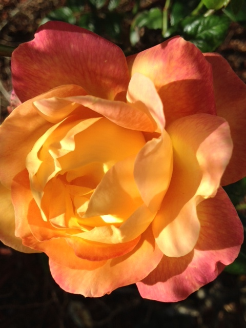 Growing fragrant roses for perfumes