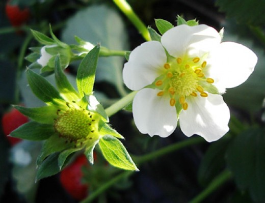 Strawberry blossoms look the same regardless of what color the fruit may be