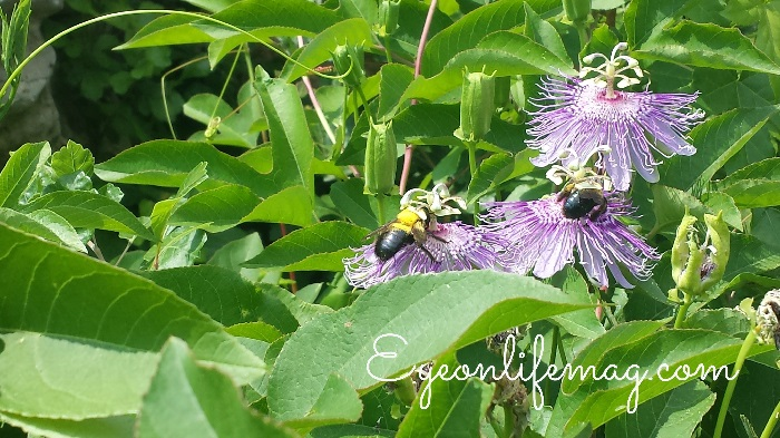 Two honeybees on passion fruit flowers at the St. Louis Zoo.