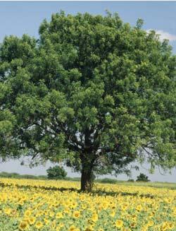 Mature Neem Tree