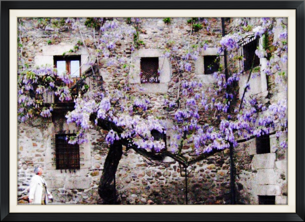 Wisteria can be a dramatic statement of beauty when placed upon a neglected building or aging structure.