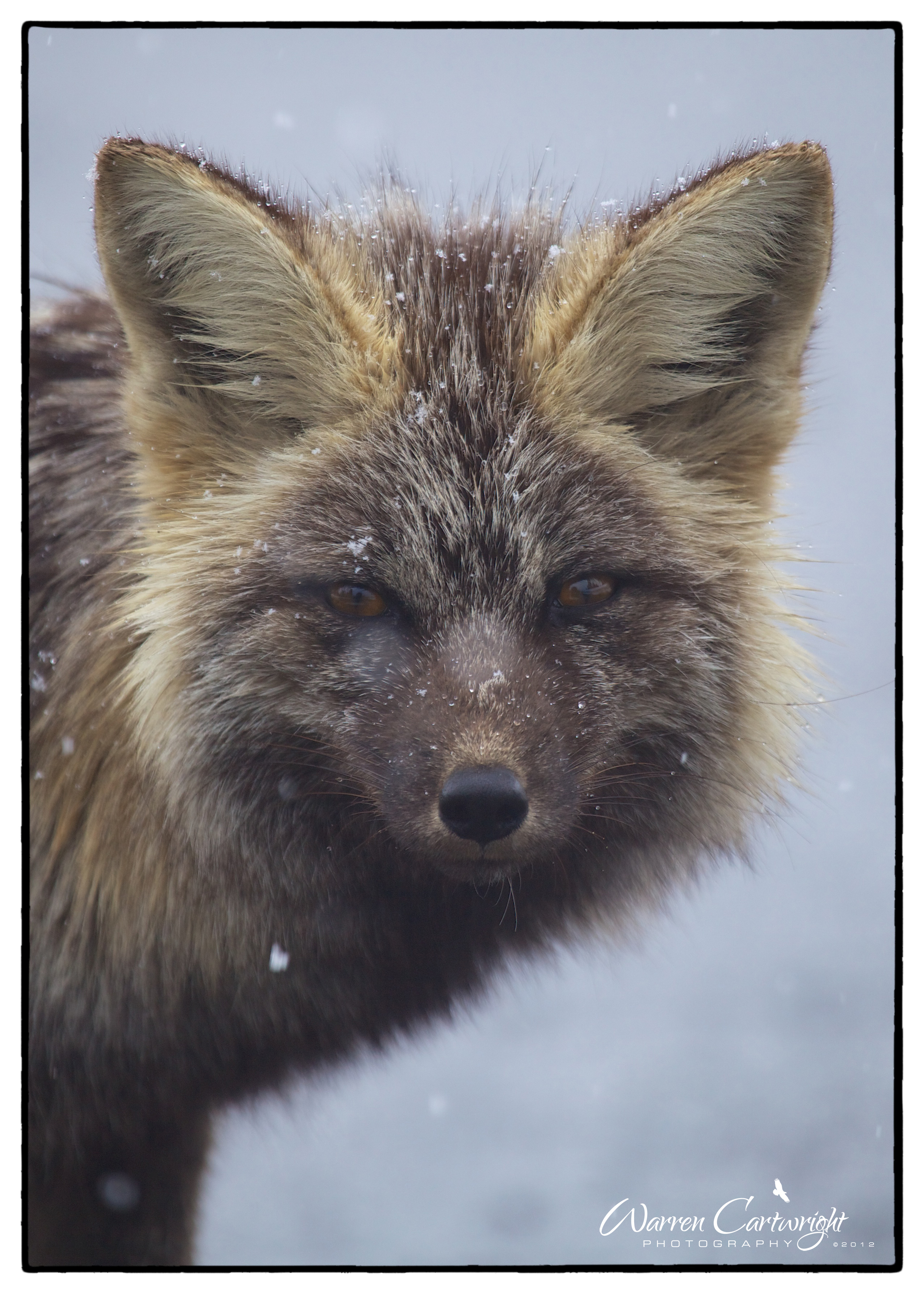 Cascades_Red_Fox3.jpg