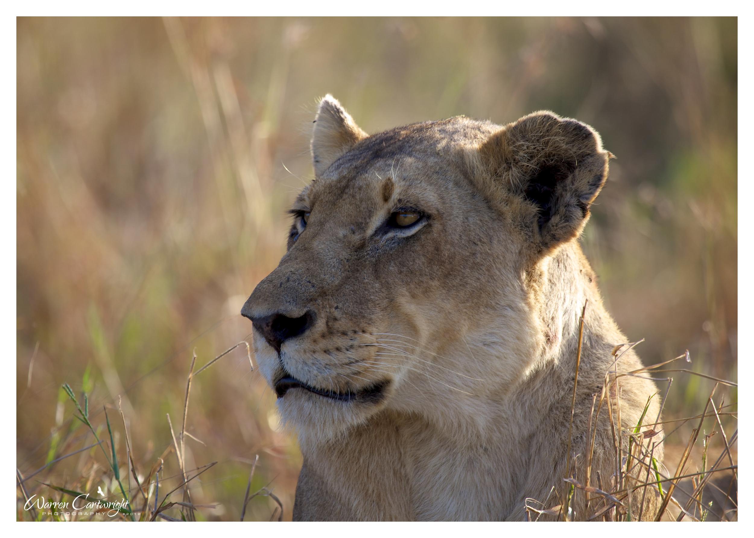 lioness_portrait.jpg