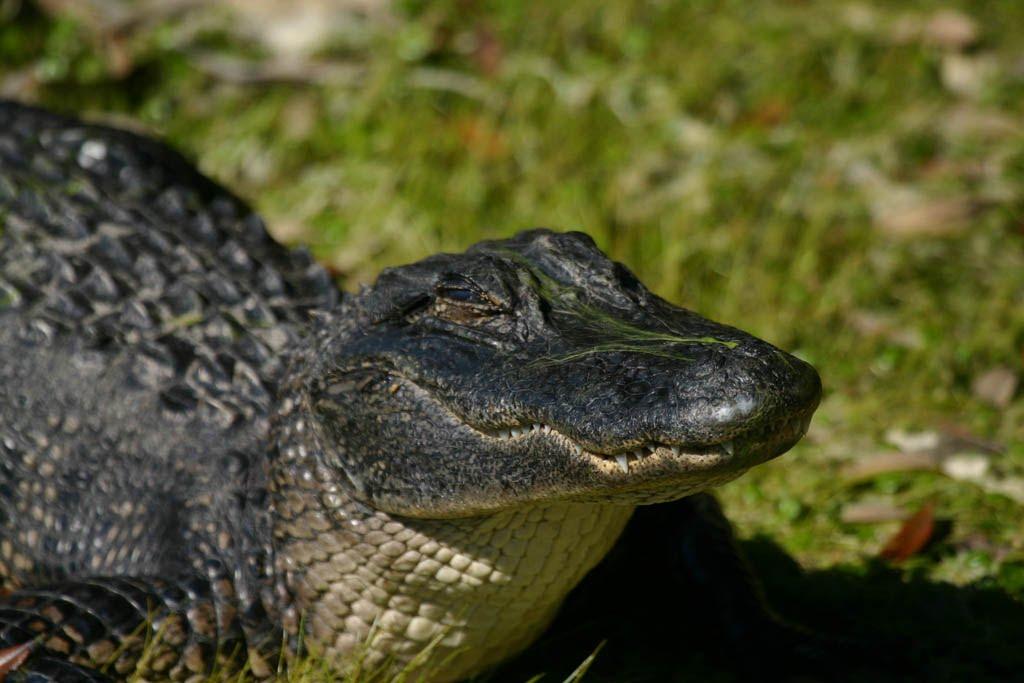 ch_gator3.jpg