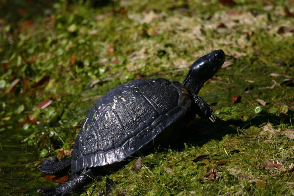 ch_turtle.jpg