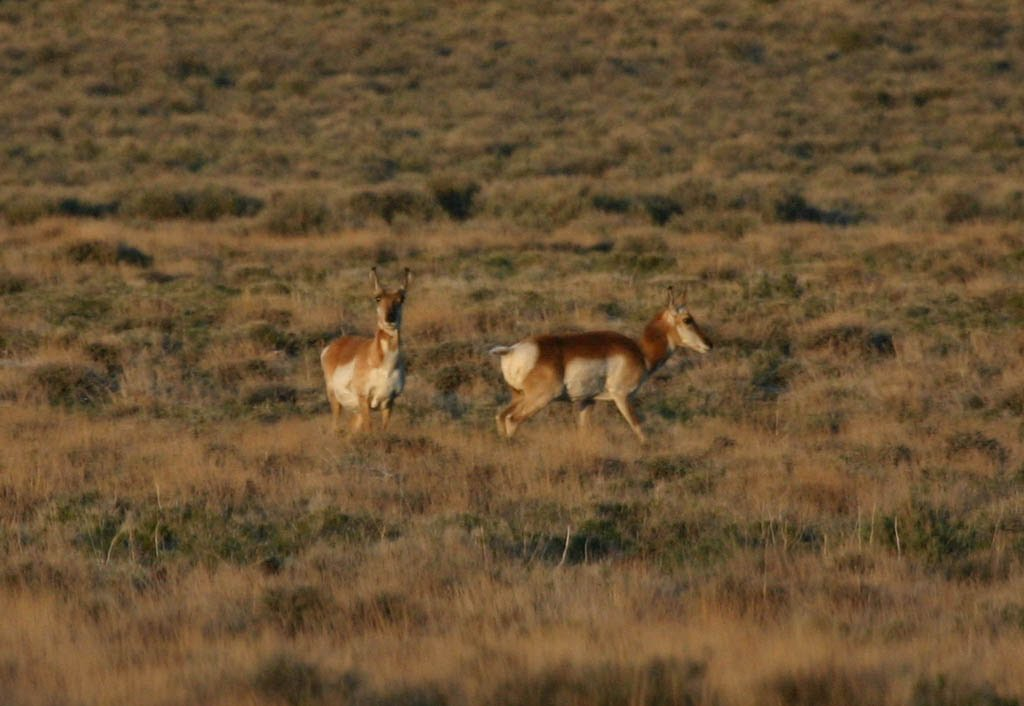 Pronghorn antelope in the Nevada desert.