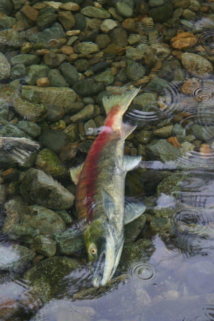 salmon_dead.jpg