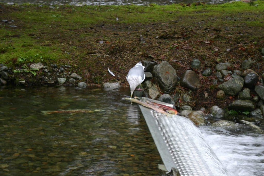 salmon_gull.jpg