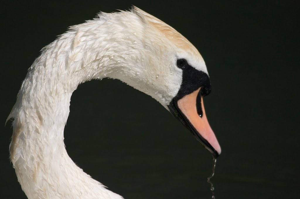 Swan, on the resevoir at Stoke Newington