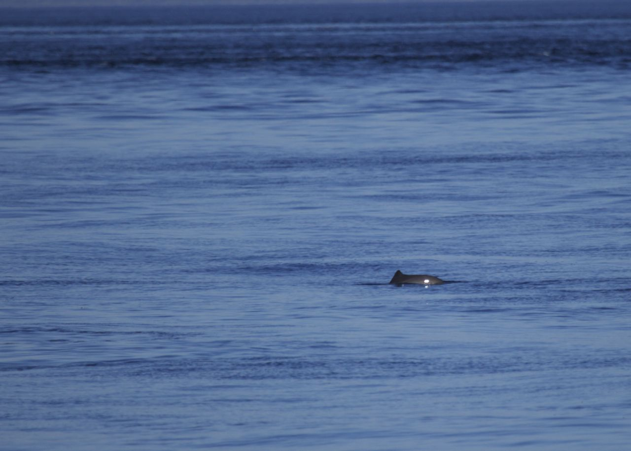A lone porpoise on the return trip from Sucia.