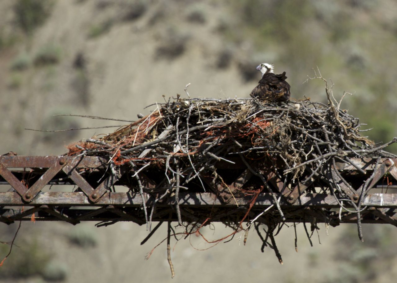 On the old bridge across the Fraser River in Lillooet, we noticed an osprey nest, with this young osprey still hanging out.
