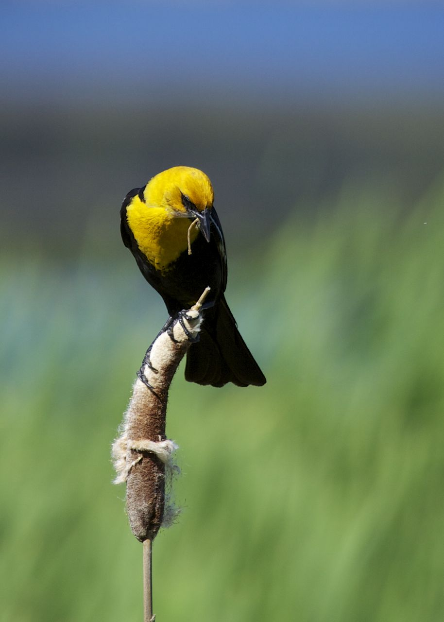 He was a great subject, sitting on the cattail for a long time.