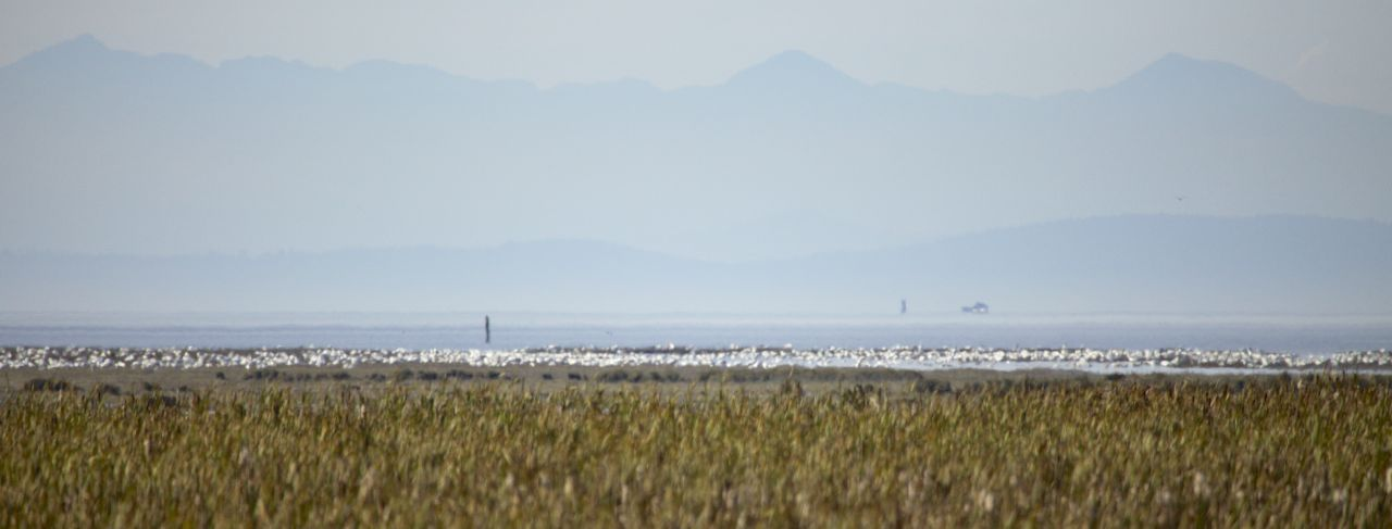 The sow geese were out on the edge of the ocean, pretty far out. You could hear them, but not see them very well.