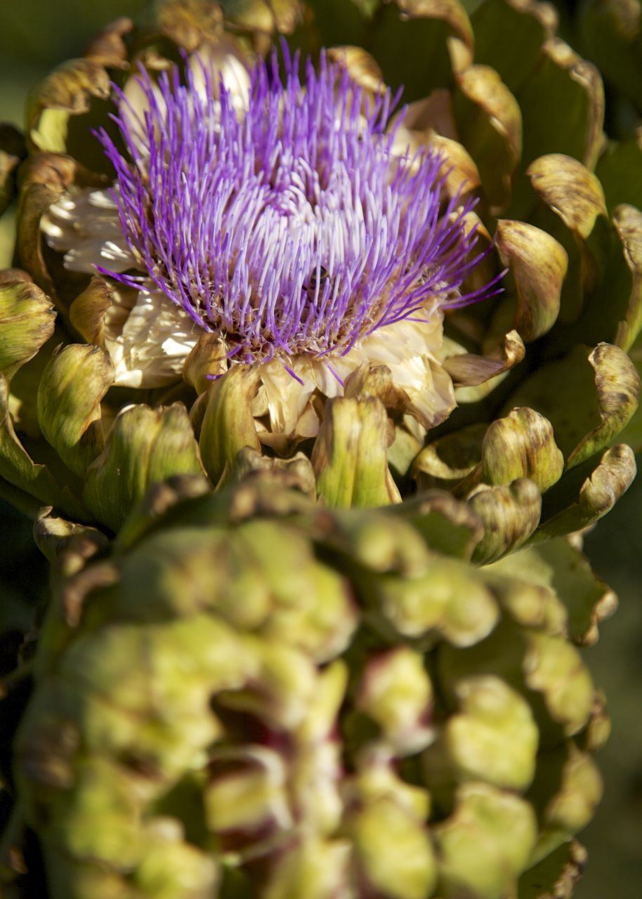 Artichokes make for excellent subject once the flower.