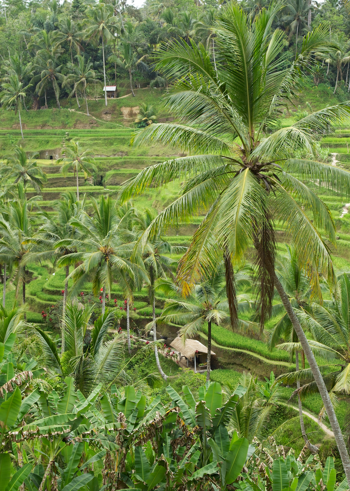 Palm trees and rice paddies in Balli. A totally different world.