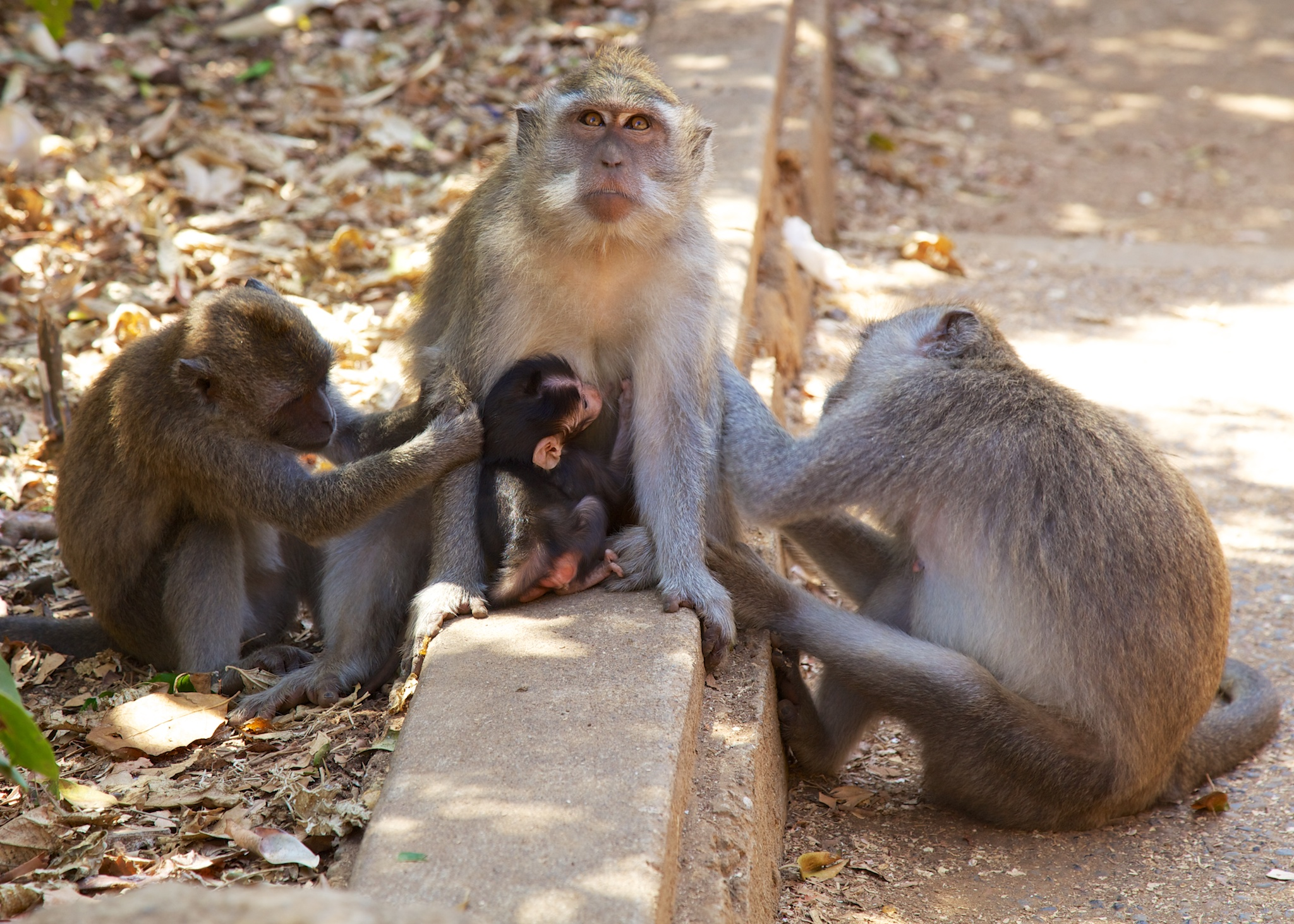 While cute, the monkeys are quite aggressive, and can cause some damage.