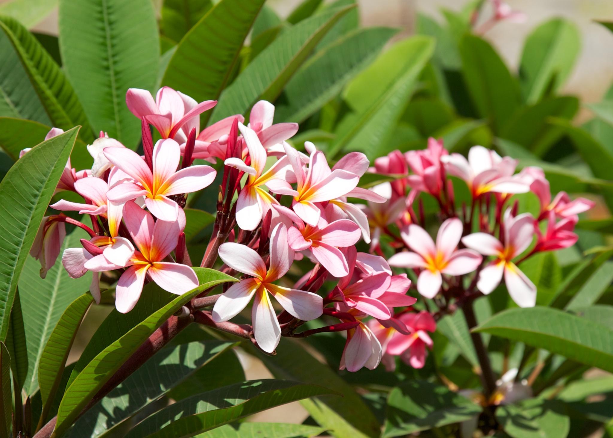 Bali  pink plumera.jpg