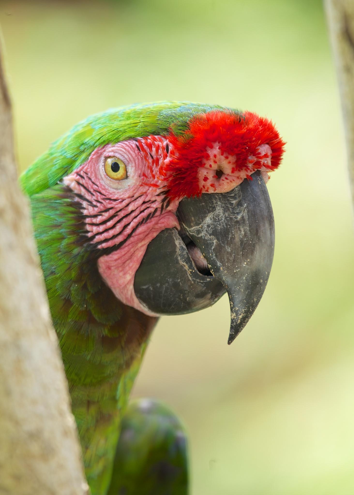 Bali  Bird Park Green Parrot.jpg