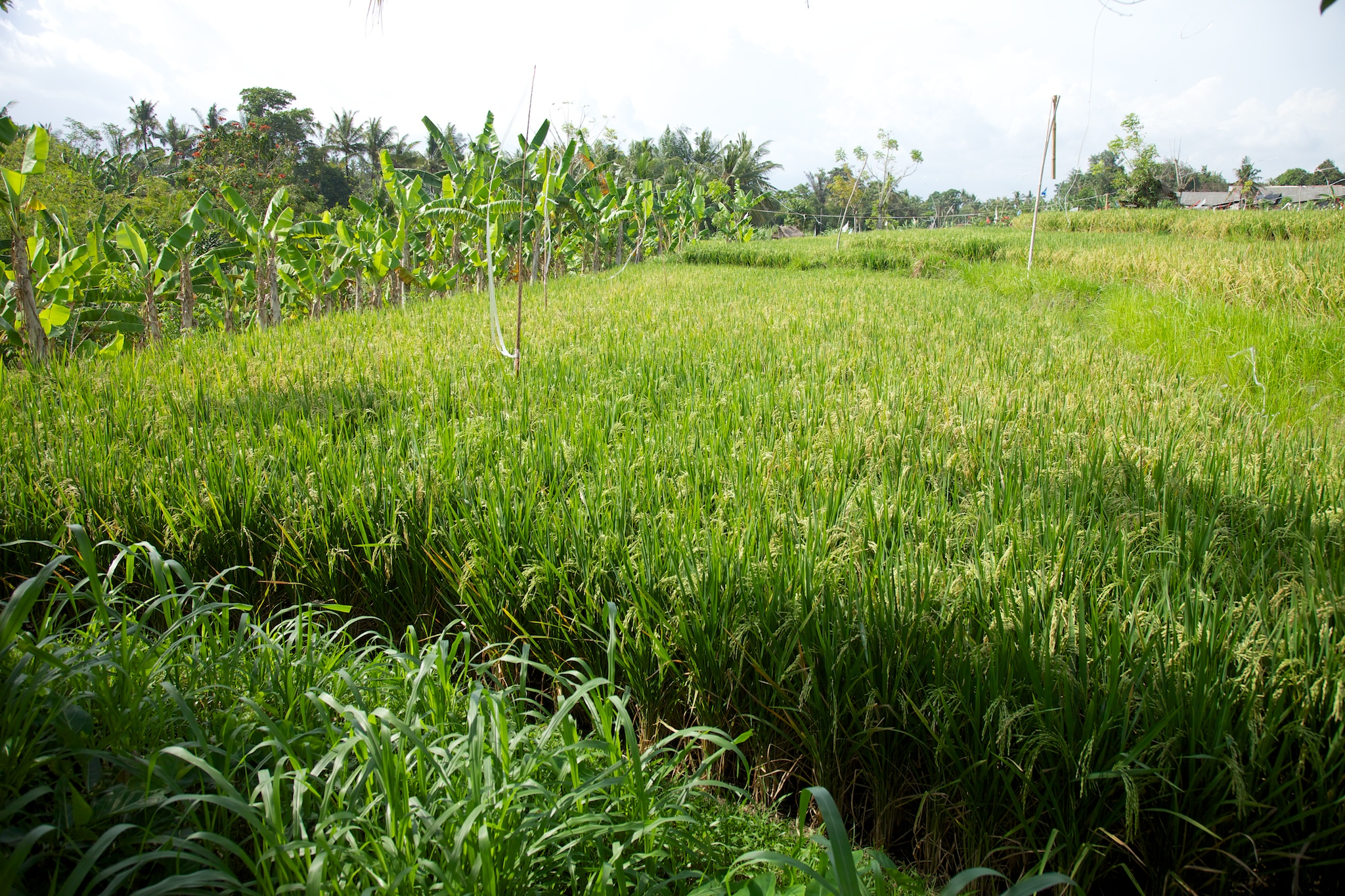 One of the most interesting things on this trip was seeing rice being grown. I've eaten a lot of it, but had no real idea what it looks like. Here is a rice paddy, with banana trees along the edges.