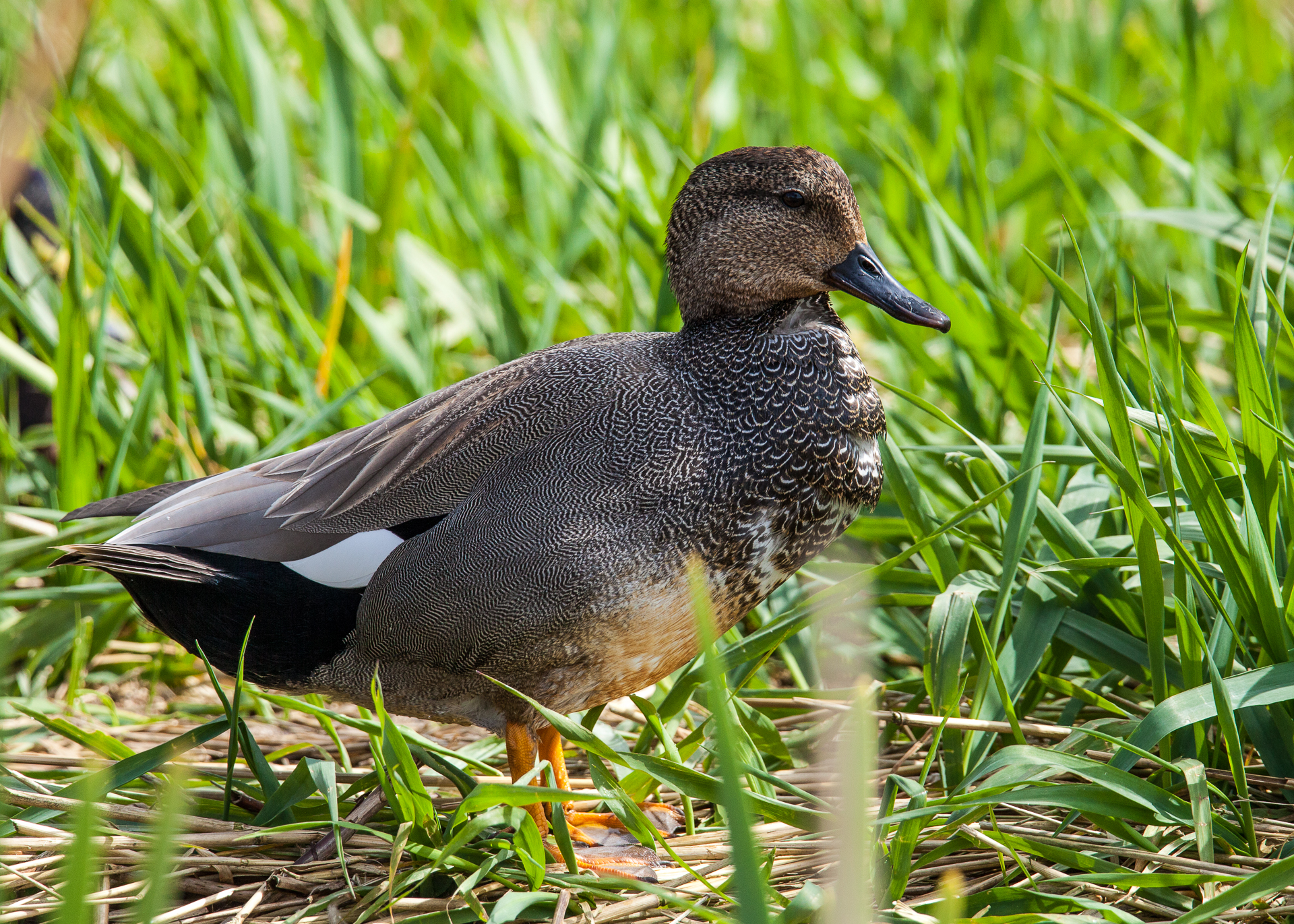 This was a new duck species that I have not seen before, and could not identify.