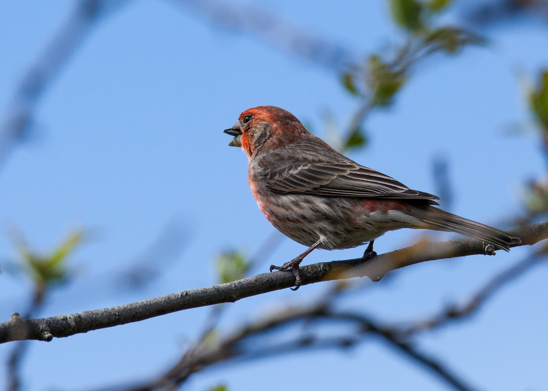 I think this is a Purple Finch, but I'm not sure. This was shot handheld at 600mm, which turned out pretty good results, if I do say so myself. Of course, the light was pretty good, which helped.