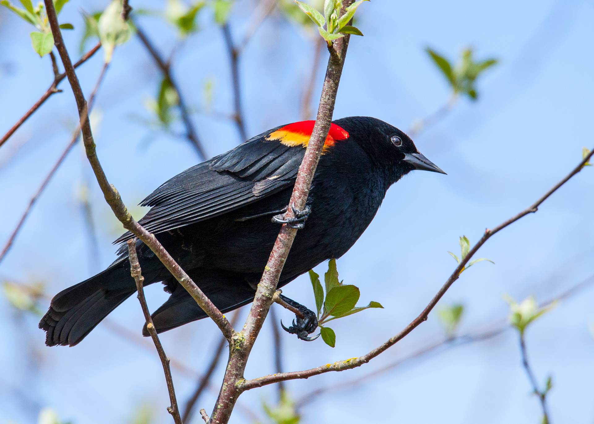There were a few of the usual suspects around, including the red-wing blackbirds.