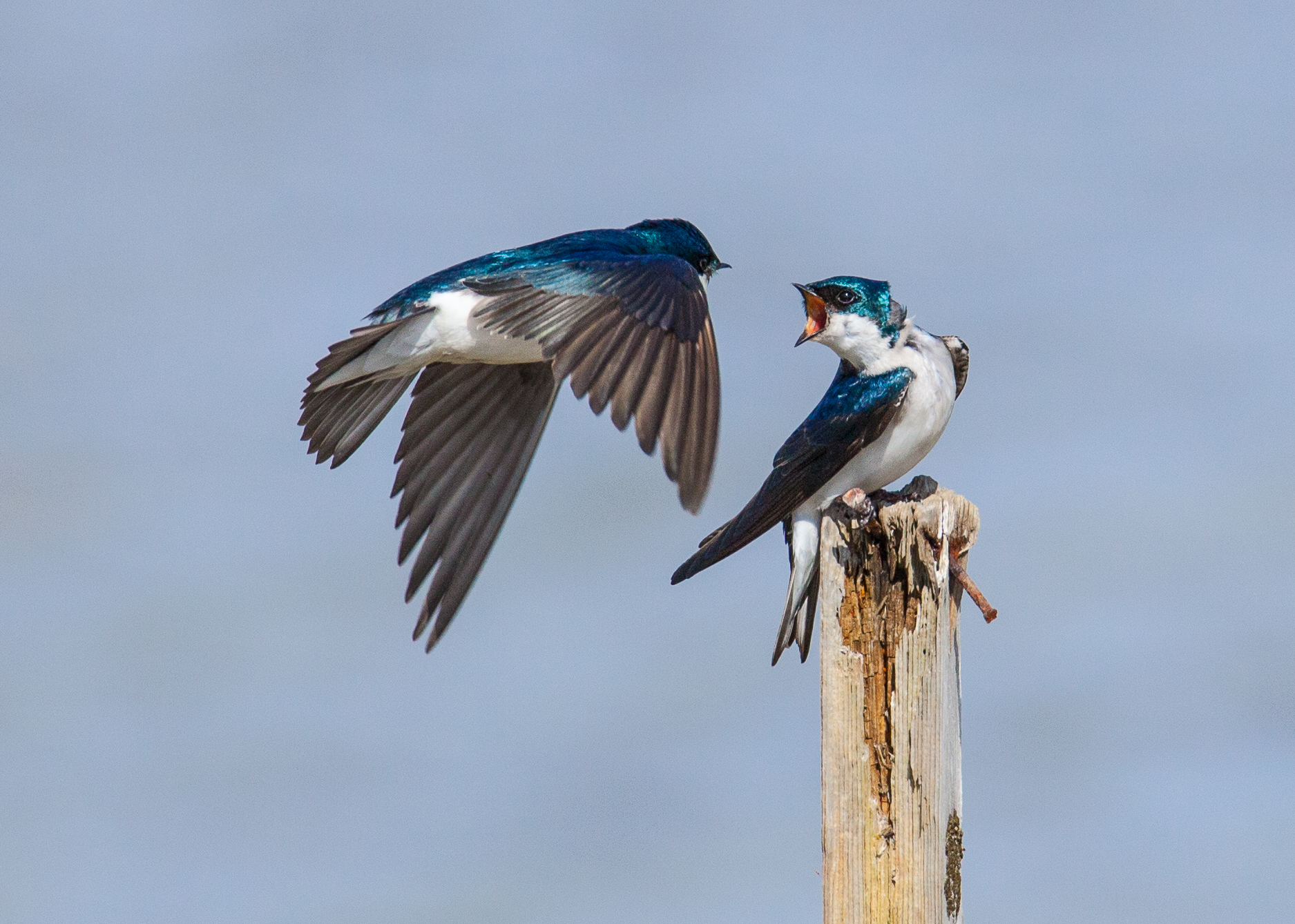The swallow on the right seems to be missing a lot of feathers.