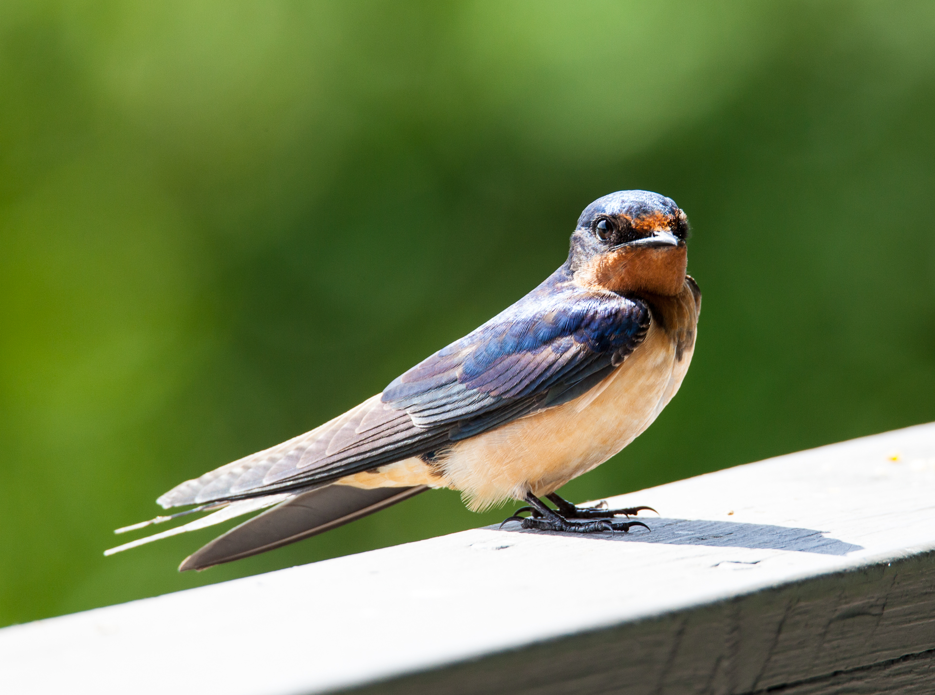 The barn swallows were nesting up above, and were quite content to watch me as I watched them