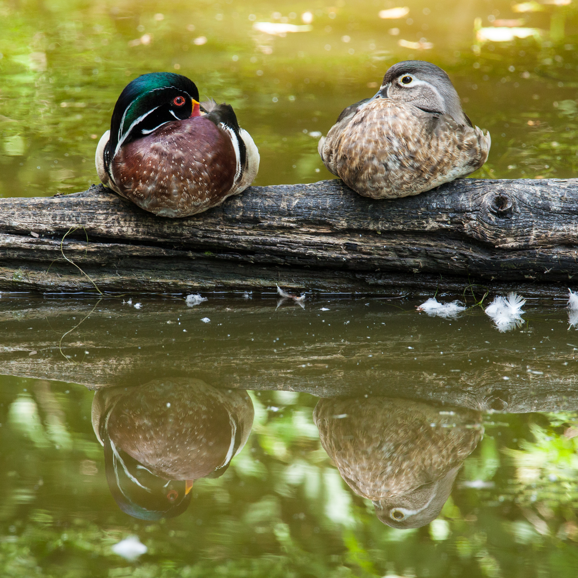 A pair of wood ducks were enjoying the warm afternoon.
