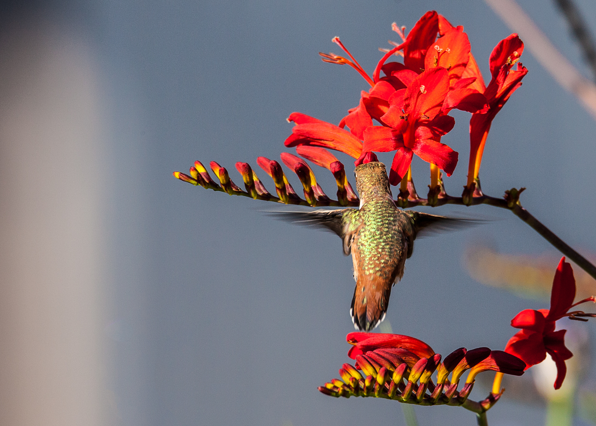 Hummingbirds-27.jpg