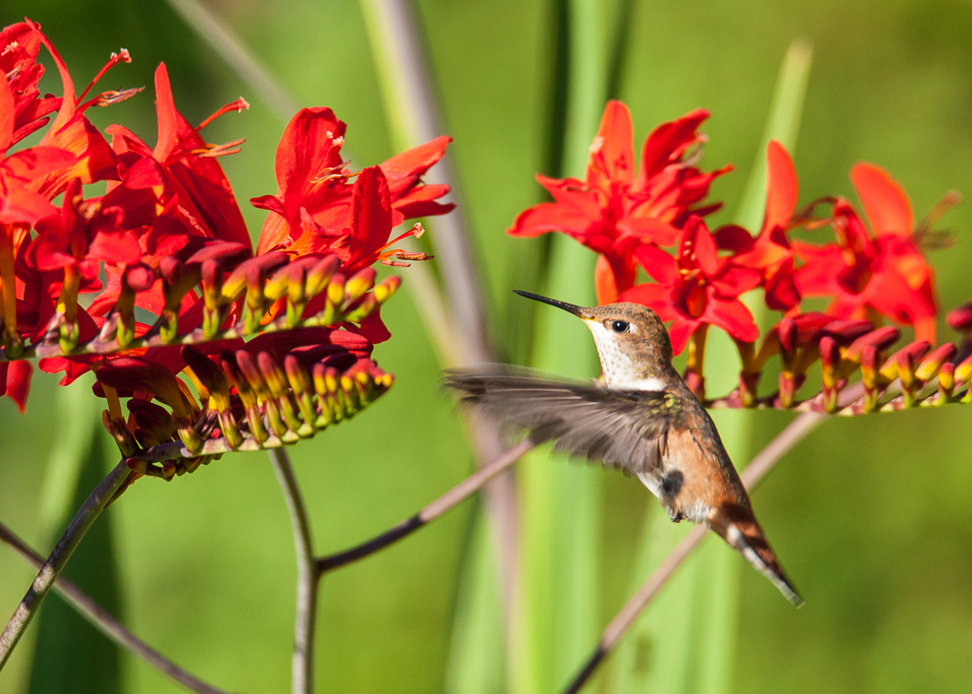 hummingbird_wings_forward