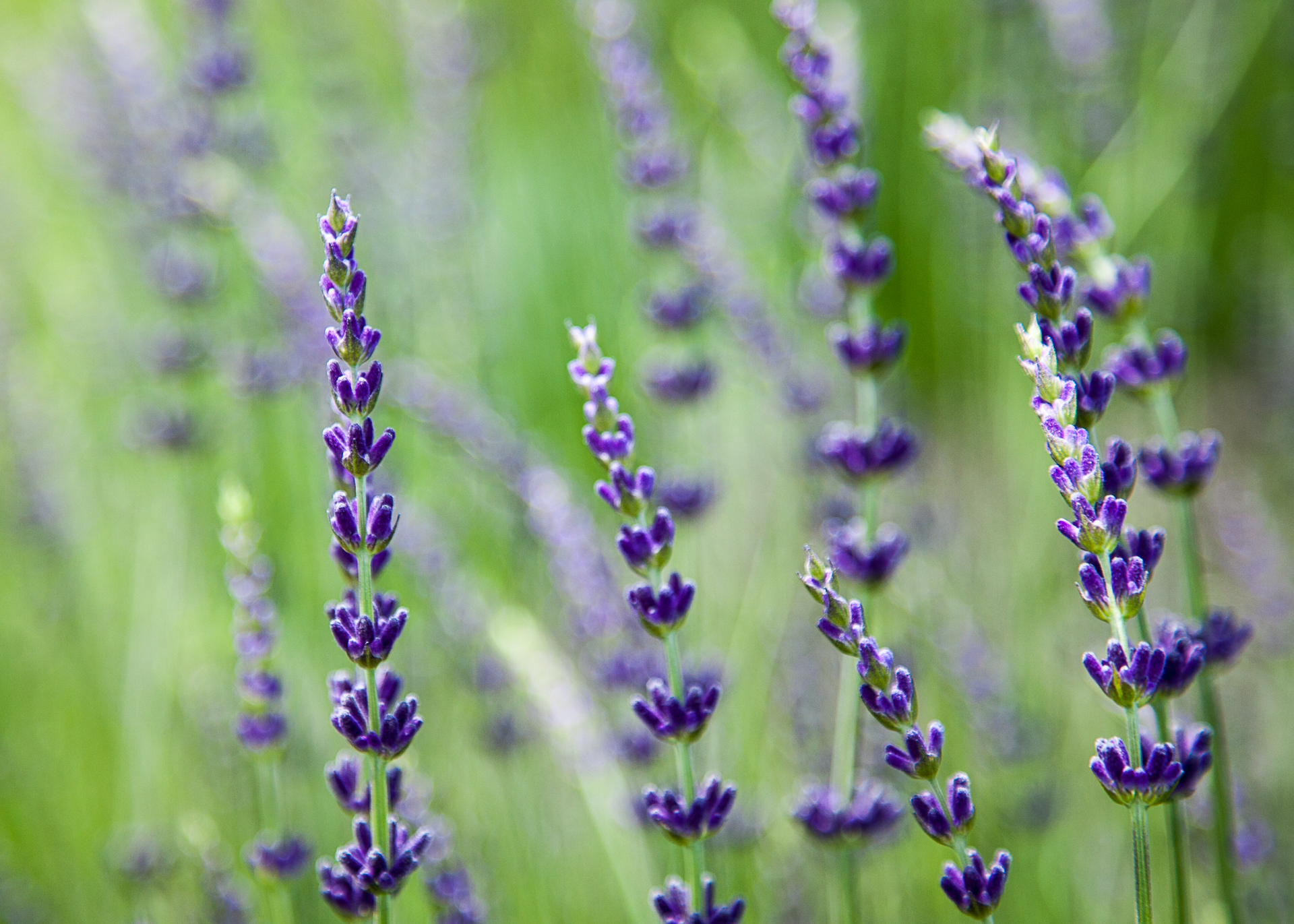 Some more close-ups of the lavender.